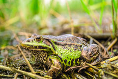 Frog in swamp. Big frog in swamp in Chernigov Ukraine. The photo was taken during fishing Royalty Free Stock Photo