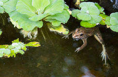 Frog is in the swamp. Close up Stock Photo