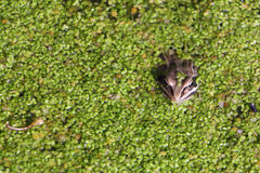 Frog in the swamp among duckweeds. The frog sitting in the swamp among a duckweed in the summer royalty free stock image