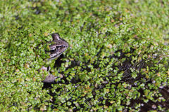Frog in the swamp among duckweeds. The frog sitting in the swamp among a duckweed in the summer stock image