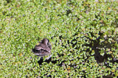 Frog in the swamp among duckweeds. The frog sitting in the swamp among a duckweed in the summer stock photos
