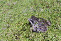 Frog in the swamp among duckweeds. The frog sitting in the swamp among a duckweed in the summer royalty free stock photo