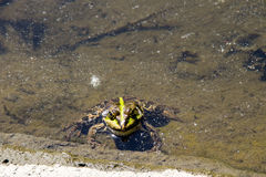 Frog in swamp. Green frog in a swamp royalty free stock images