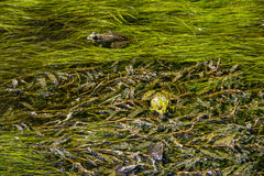 Frog in swamp. Green frog in a swamp royalty free stock photo