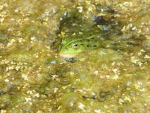 Frog in the swamp Stock Photo