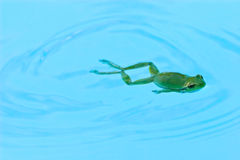 Frog swimming Royalty Free Stock Photos
