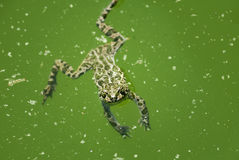 Frog swimming Stock Images