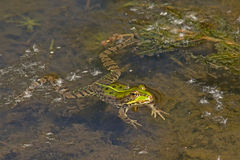 Frog swimming in the pond Anura Royalty Free Stock Image