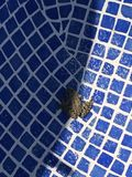 Frog in the swimming pool stock image