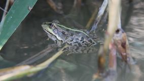 Frog swinging on the water in the shade of the reeds stock footage