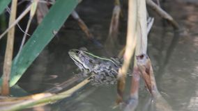 Frog swinging on the water in the shade of the reeds stock video