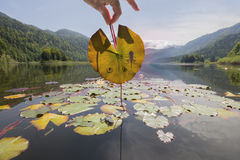 Frog Tadpole Stages on Mountain Lake Leaf. Tadpoles under a water lily leaf in liquid eggs, at various stages of metamorphosis, with a frog on the mountain lake stock image