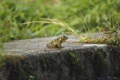 Frog taking sun Stock Image