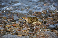 Frog in tidal wave Royalty Free Stock Image