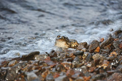 Frog in tidal wave Royalty Free Stock Photos