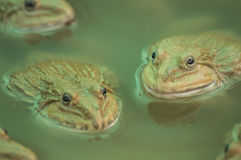 Frog to eat Royalty Free Stock Photos