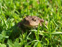 Frog - toad in the grass. South Bohemia royalty free stock images