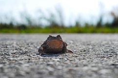 Frog Toad on the road. Looking right lens, funny but sad Stock Image