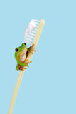 Frog on toothbrush. White-lipped tree frog or Litoria Infrafrenata on a toothbrush Royalty Free Stock Images