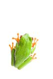 Frog top view isolated Royalty Free Stock Photography