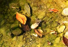 Frog in water hunts for bug. Frog in transparent water with fallen down yellow leaves hunts on the bug sitting on a stone royalty free stock photography
