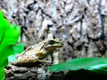 Frog on a tree Royalty Free Stock Image