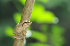 Frog on Tree Royalty Free Stock Photo