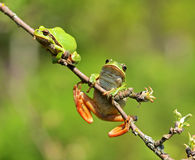 Frog. Tree frog on a branch in the spring Stock Photo
