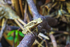 Frog on a tree Royalty Free Stock Photo