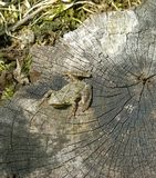 Frog On A Tree Stump. Small frog sitting on a tree stump Stock Images