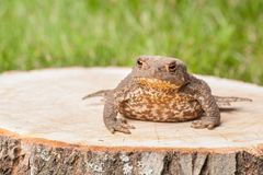 Frog on the tree stump Royalty Free Stock Image
