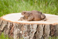 Frog on the tree stump Stock Images