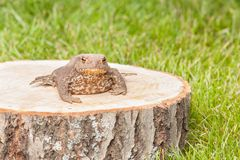 Frog on the tree stump Stock Photos