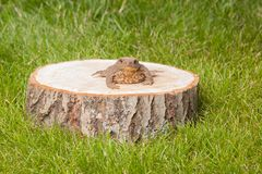 Frog on the tree stump Royalty Free Stock Photography