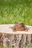 Frog on the tree stump Stock Photography