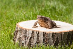 Frog on the tree stump Stock Image
