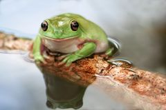 Frog, tree frog stock images