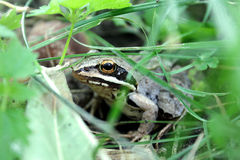 The Frog. Tucked away on a summer morning in the grass frog Royalty Free Stock Photo