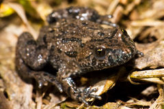 Frog on a twig. A frog sitting in some undergrowth Royalty Free Stock Photos