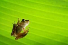 Frog under green leaf Royalty Free Stock Image