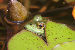 Frog Under A Lily Pad Stock Photos