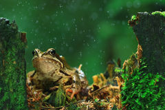 Frog under rain Royalty Free Stock Photos