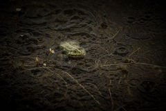 Frog under rain Royalty Free Stock Photography
