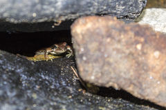 Frog under the stone Royalty Free Stock Photos