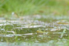 Frog under water Royalty Free Stock Photo