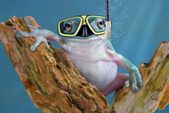 Frog underwater. A whites tree frog is underwater wearing goggles and a snorkle Stock Photography