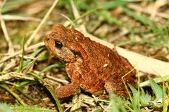 Frog - beautiful coloration royalty free stock image