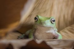 Frog Very Cute Royalty Free Stock Photos