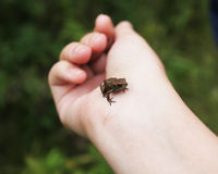 Frog. Very little frog sitting on a hand Royalty Free Stock Images