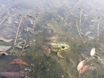 Frog. Very nice. Stock Photography